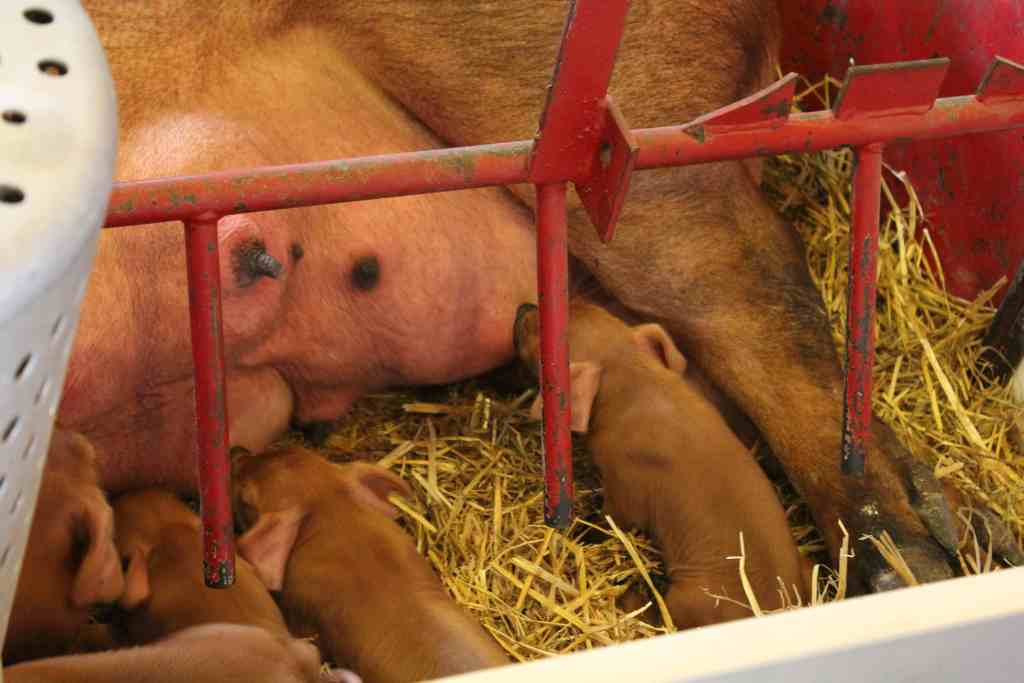 Pigletts at the Wells Fargo Family Farm