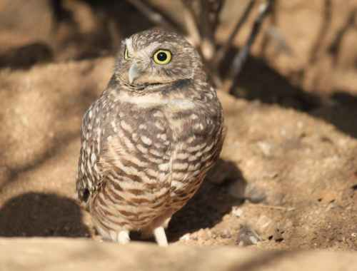 Burrowing Owl