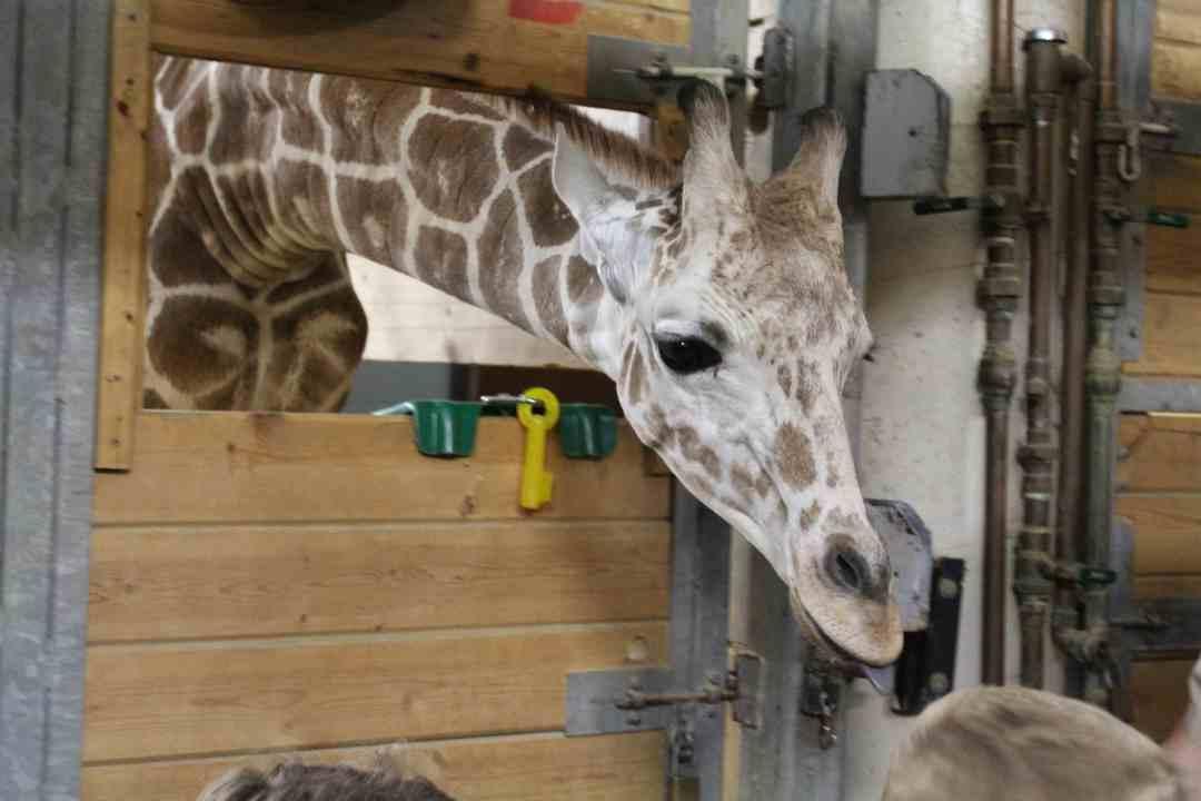 Prince the Giraffe at the Como Zoo