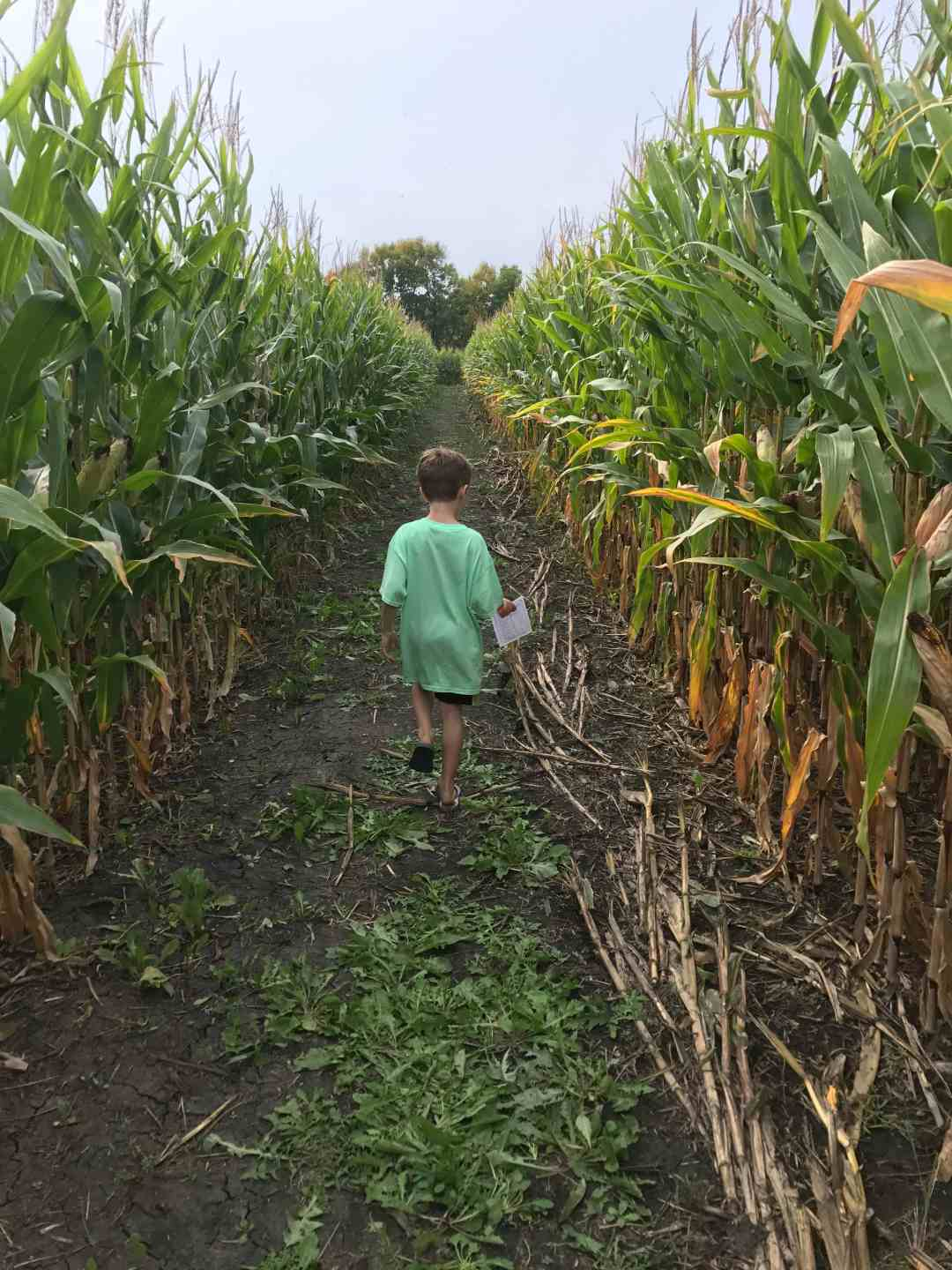 Getting Lost in Corn at the Crow River Wineries Maze