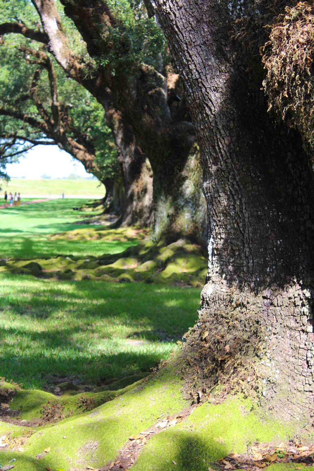300 year old Oaks at Oak Alley Plantation