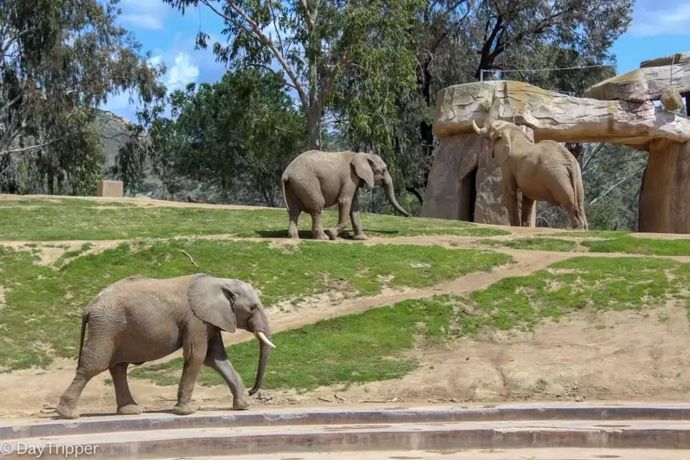 Elephants on Exhibit at the San Diego Zoo Safari Park