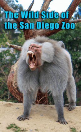 The Wild Side of the San Diego Zoo. How to see the animals, save some money and where to eat! San Diego Zoo | Tips for the Zoo | What to Expect | Family Fun