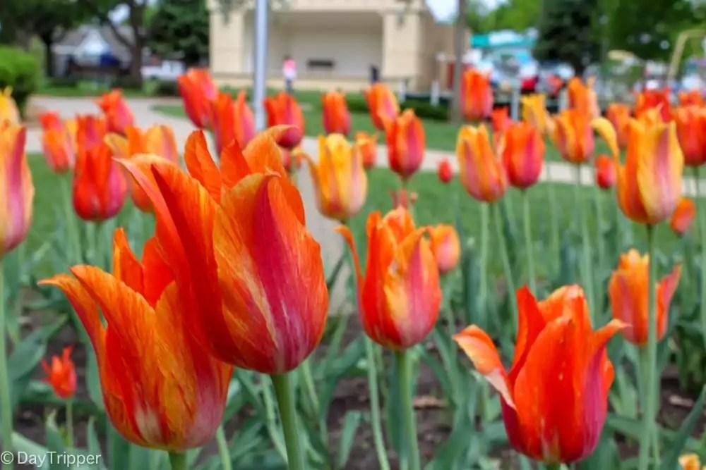 Orange City Tulips