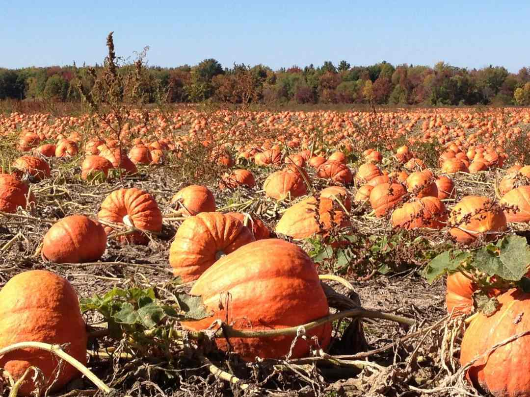 MN Pumpkin Patch