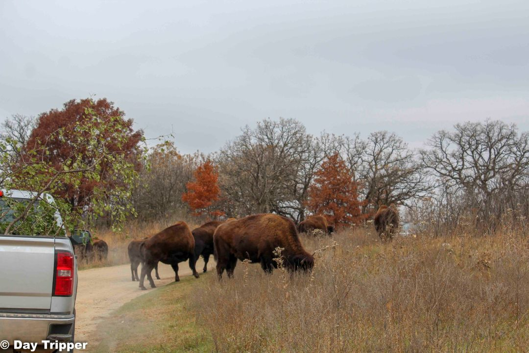 Bison in the Road at Minneopa State Park