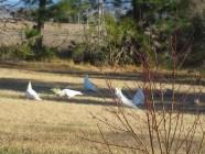 Sulphur crested cockatoos feeding on the grass, 2011