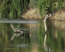 Galahs drinking on the Yass River, Joe O'Connor Park, Yass, New South Wales, Australia