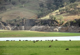 Cows grazing on Burrinjuck lakebed, Good Hope Road via Yass, NSW, Australia
