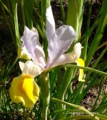 Purple and yellow iris