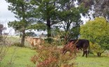The neighbours cows in our backyard.