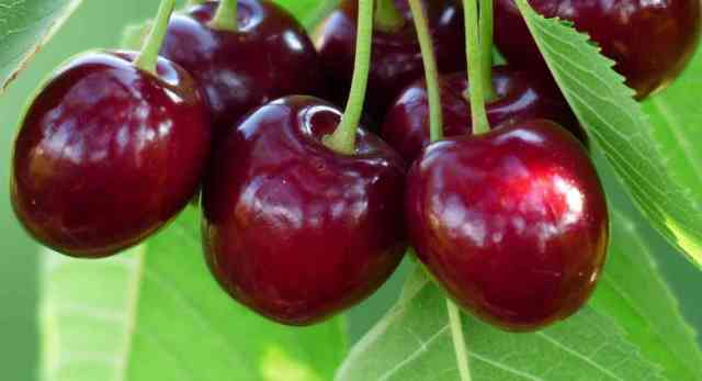 Pick Your Own U-Pick Cherries around Rochester NY