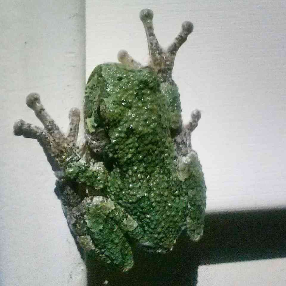 Rochester Citizen Science Tree Frog