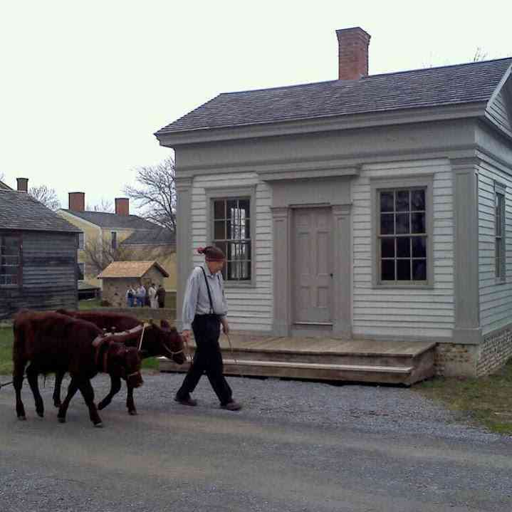 Genesee Country Village and Museum walking cattle