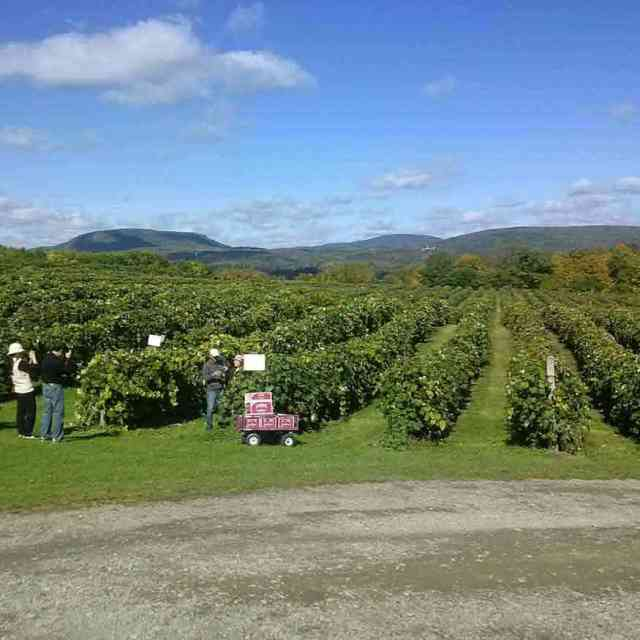 Canadaigua Lake: Jeromes U-Pick Grapes in Naples