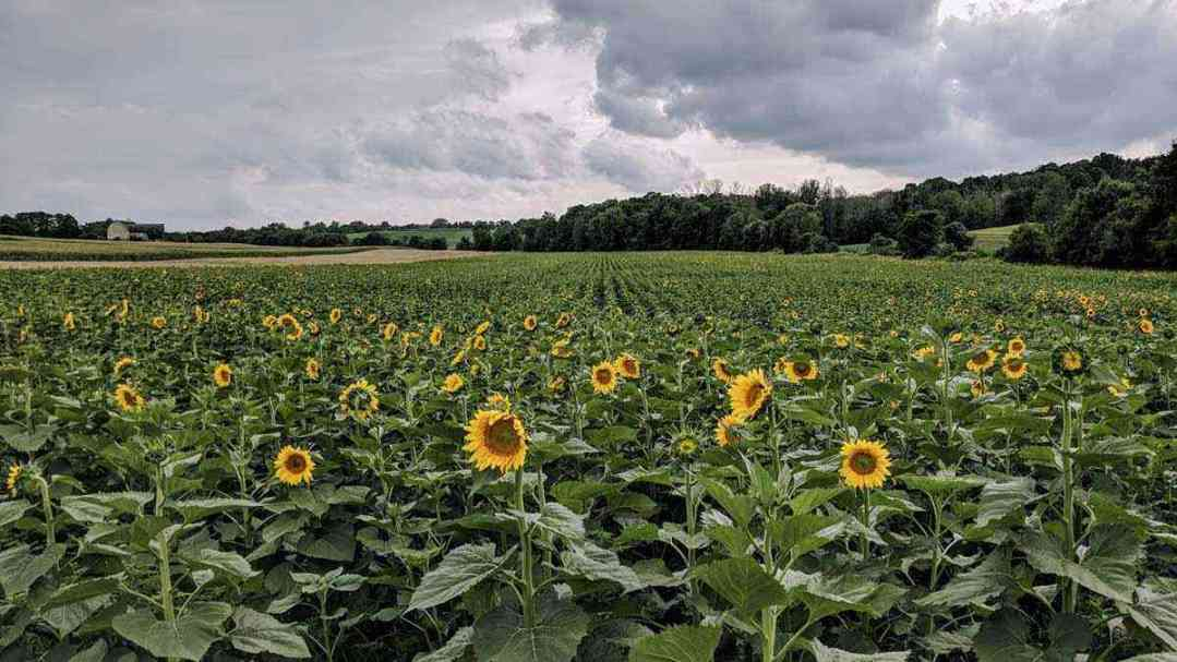 Sunflower Field Clover Calkins Pittsford August