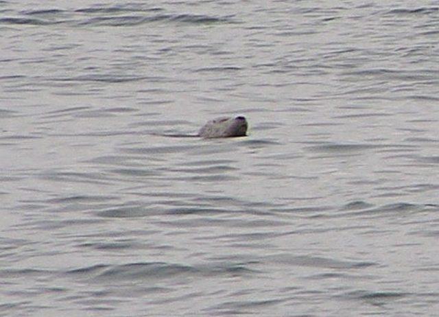 Seal seen passing through Doris Mor