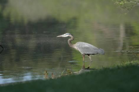 Great Blue Heron; Regency Park, Cary, NC