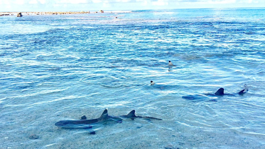 Cook Sharks