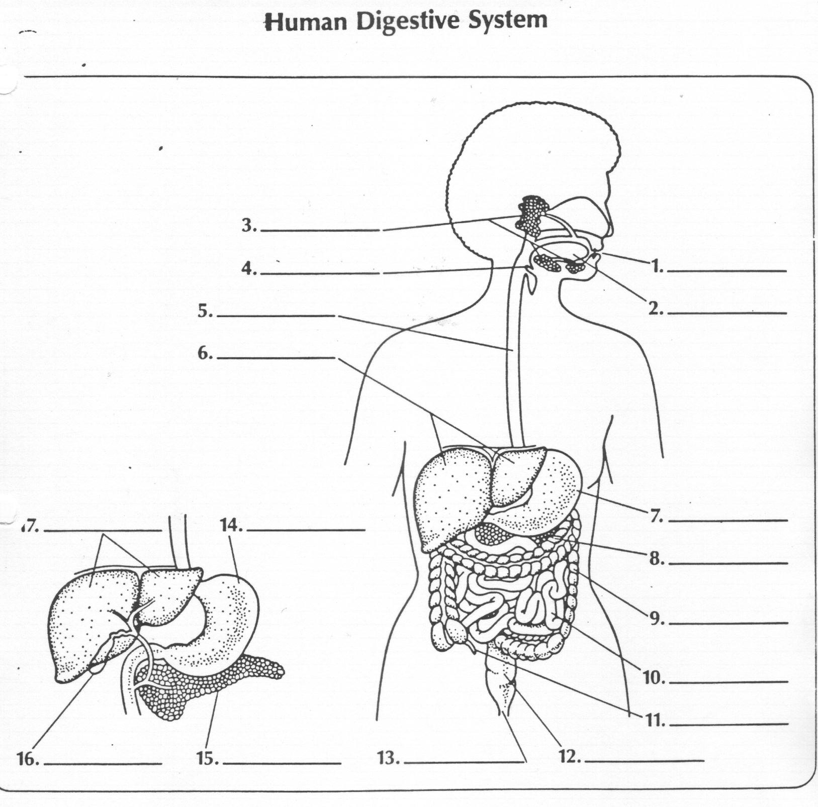 Collection Of Solutions Human Digestive System Worksheet
