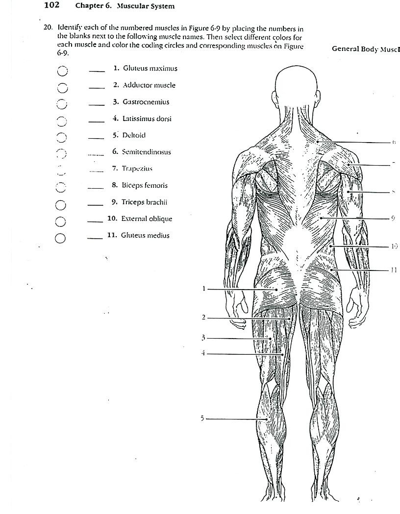 Coloring Coloring Muscular System Pages Blank — db-excel.com