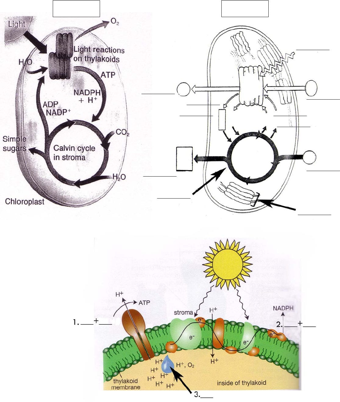 Photosynthesis Diagrams Worksheet Answers