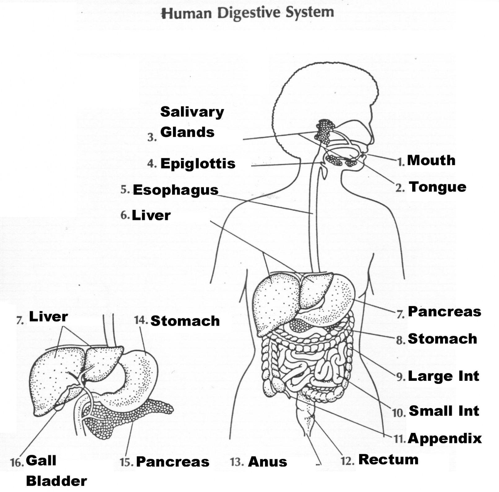 Digestive System Worksheet Answer Key