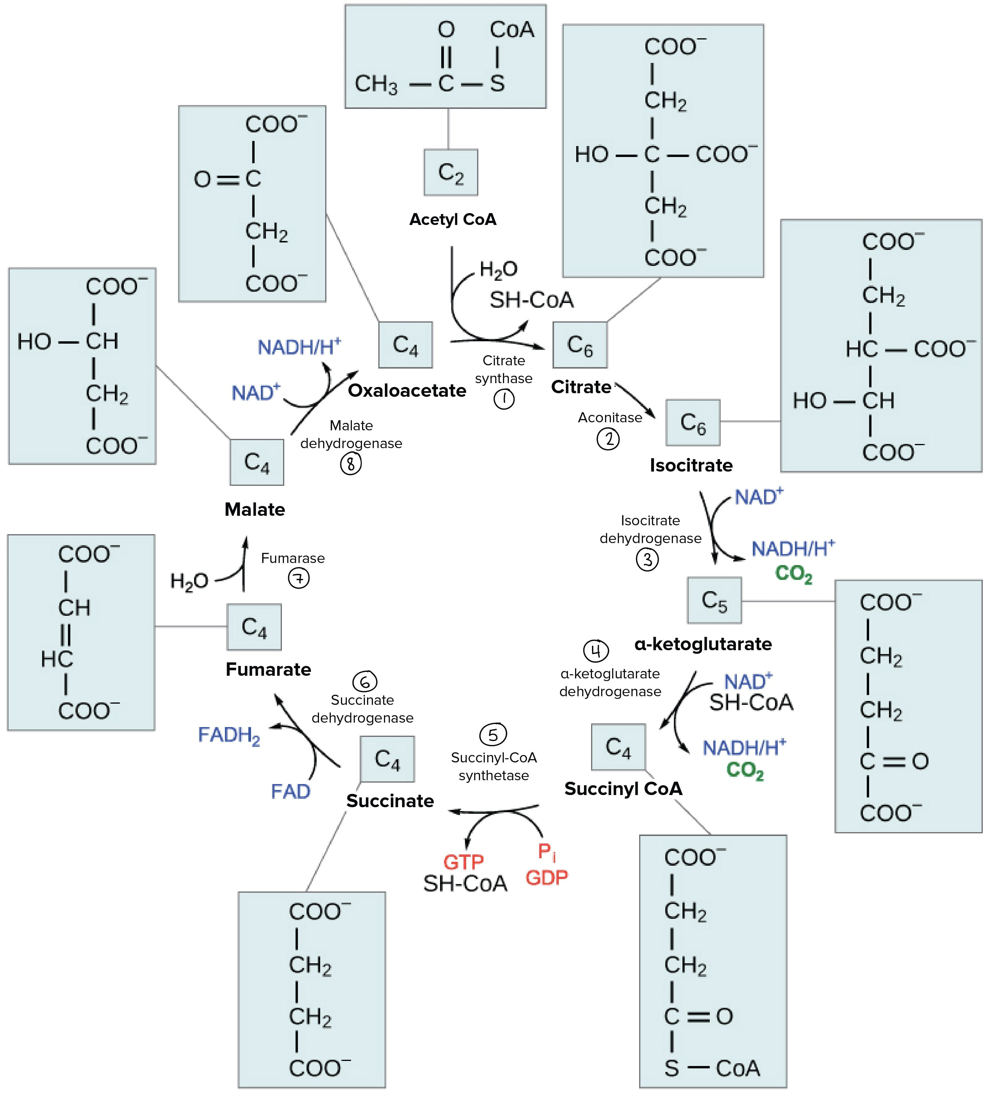 The Citric Acid Cycle Cellular Respiration Article