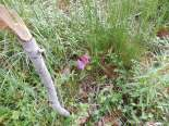 Transplanted rhododendron branch blooming in the swale among tall weeds