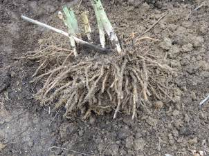 Mass of asparagus crowns and roots