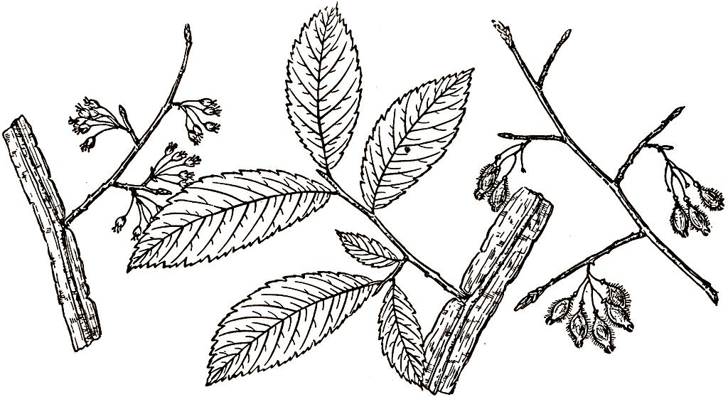 Elm leafs