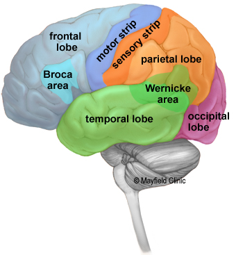 left side brain functions diagram avaya architecture anatomy of the human lobes