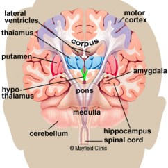 Left Side Brain Functions Diagram Single Phase Power Anatomy Of The Human Color Illustration Coronal Cross Section Showing Basal Ganglia