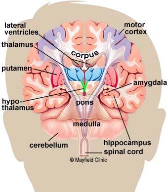 left side brain functions diagram hayward pool pump wiring anatomy of the human color illustration coronal cross section showing basal ganglia
