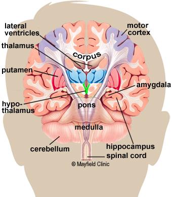 Color illustration, coronal cross-section showing the basal ganglia.