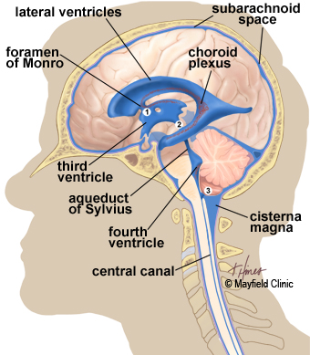 left side brain functions diagram electrical lighting contactor wiring anatomy of the human illustration view showing ventricles deep within and flow