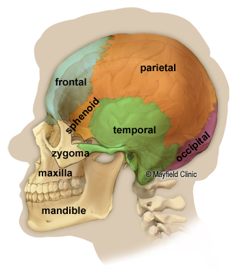 Side view illustration of a human skull