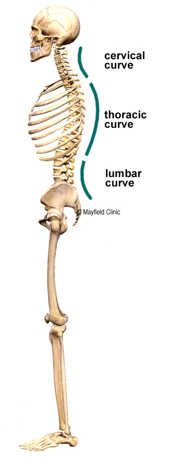 cervical vertebrae diagram front end spine anatomy mayfield brain cincinnati illustration sideview standing human skeleton with thoracic lumbar curves highlighted