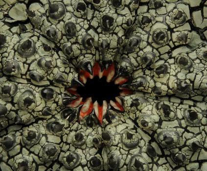 Crawl_strongylocentrotus_detail_copy