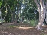 Explore the Ficus grove. UC Riverside Botanic Garden. Photo: Ficus Trees, Tania Marien, © 2016.