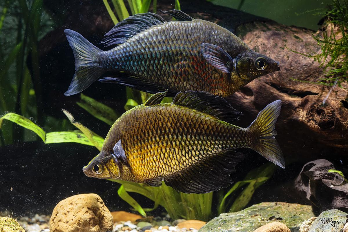 Glossolepis wanamensis Rainbowfish