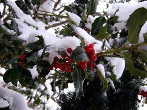 20130213-stechpalme-winter