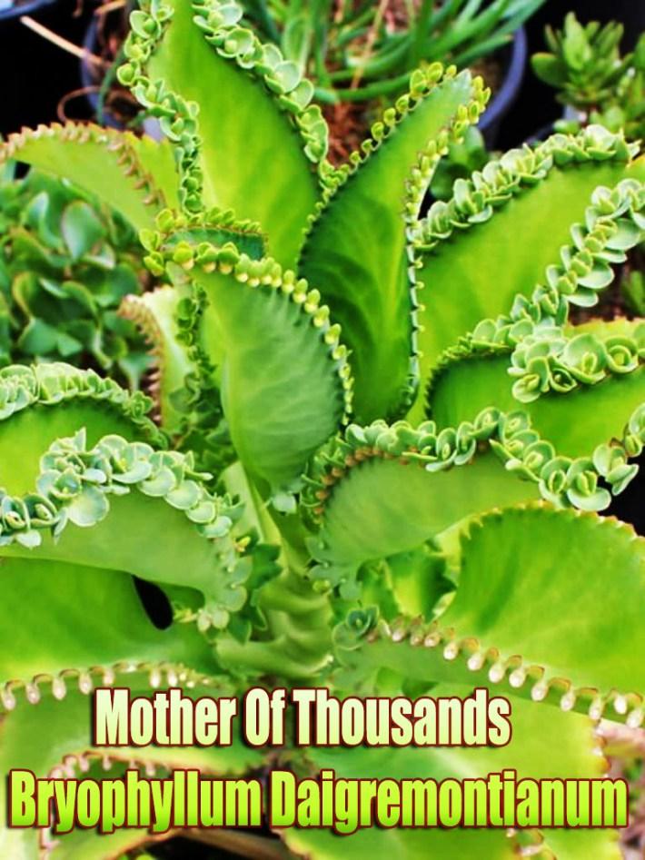 Mother Of Thousands – Bryophyllum Daigremontianum