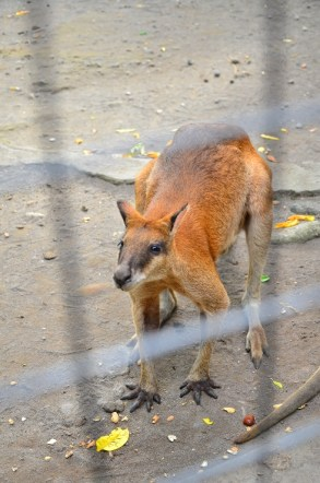 kangguru