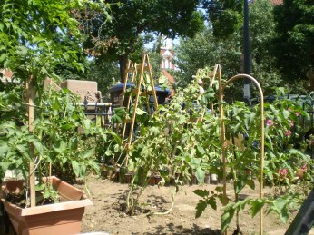 It doesn't seem to mind. I've staked it with another trellis. I had nothing left for the Hollyhock, however, so it is pitching forward a bit. I guess the lesson is I favor food over beauty any day ...