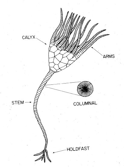 Image result for crinoid anatomy