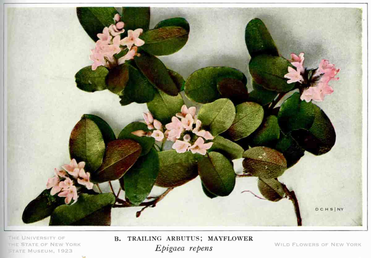 Wildflowers Trailing Arbutus WofNY