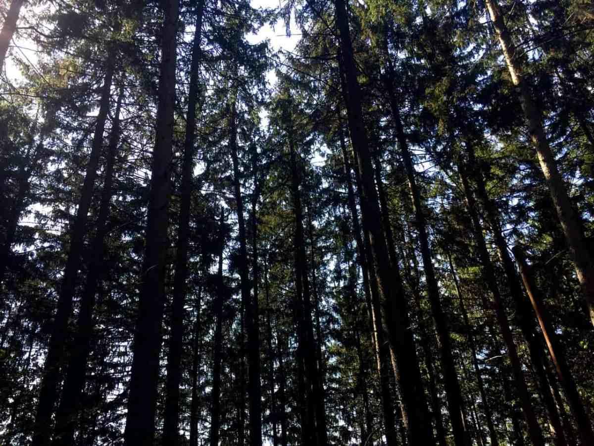 TMBC Wilcox Trees L