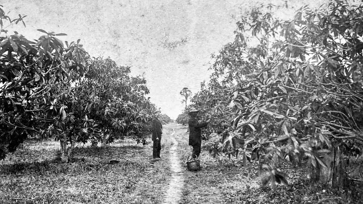 Loquats in the Walter N. Hart grove, Federal Point, Florida. Edwin S. Hubbard, left.
