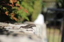 lizard on a ledge